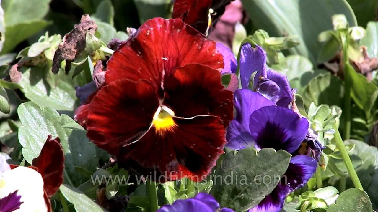 Pansy flowers blooming   YouTube Pansy flowers blooming