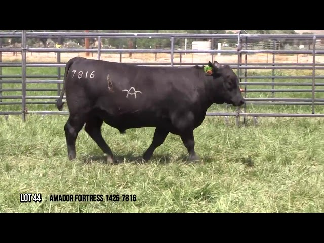 Mid Valley Bull Sale Lot 44