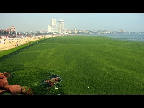 Algae overwhelms beach in Qingdao, east China