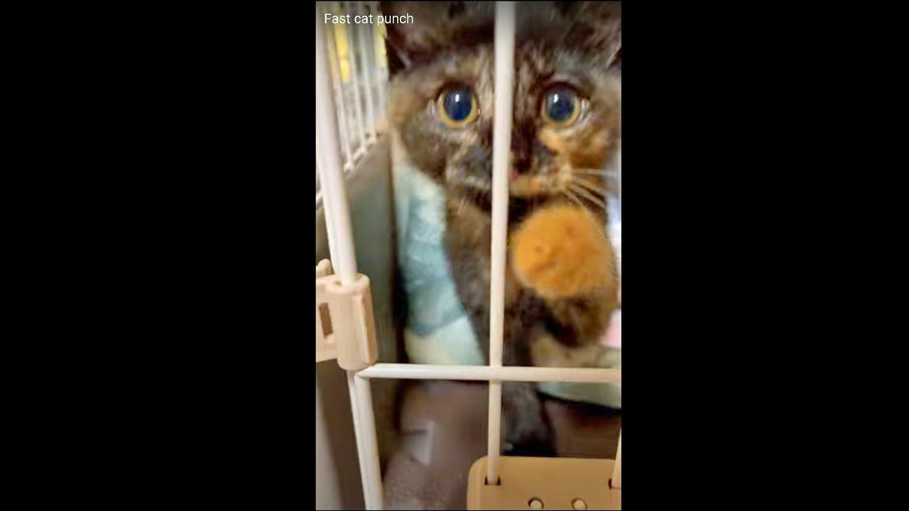 【数日前】🥇メダリスト級のカワイイ高速猫パンチ❣️ Fast cat punch