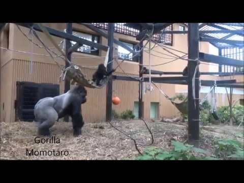 Comparative cognitive science study on primate intelligence at Kyoto City Zoo