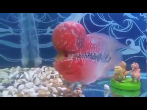 Master piece short body super red dragon flowerhorn louhan fish for sale -  www thaiFH com