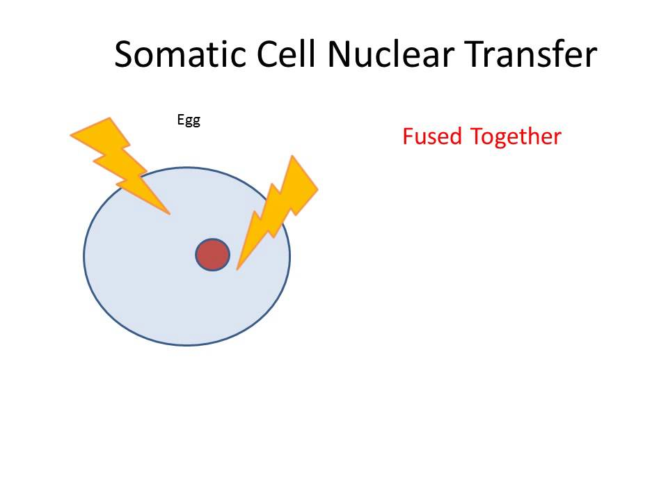Somatic Cell Nuclear Transfer Animation