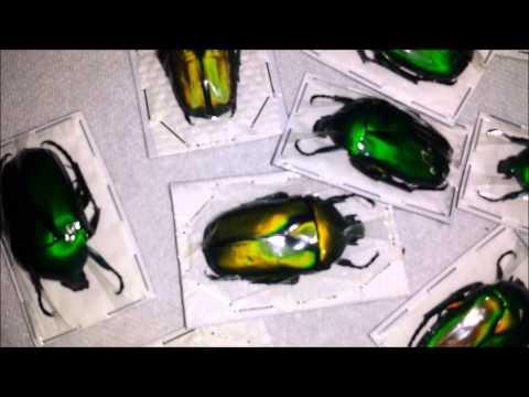 Dried Beetles