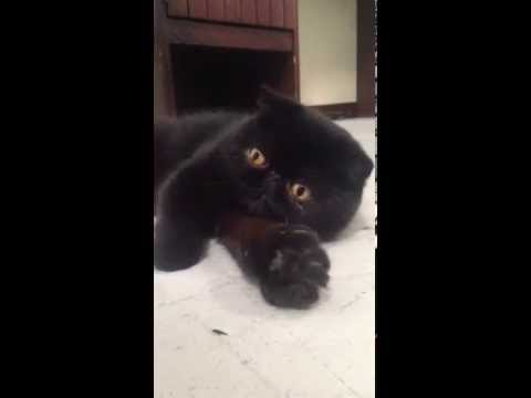 Exotic shorthair cat shows claws. Meow!