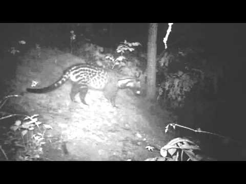 African civet cat in the Issa Valley, Ugalla, western Tanzania (credit: UPP)