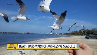 Beach restaurants warn of extra-hungry seagulls who will swarm kids trying to feed them