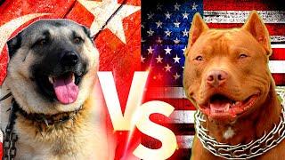 Turkish Kangal Vs Pitbull Köpekleri  #pitbull #kangal #köpek Resimi