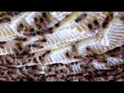 Phoenix bee removal   Glendale Bee removal   This is what 200   pounds of honey