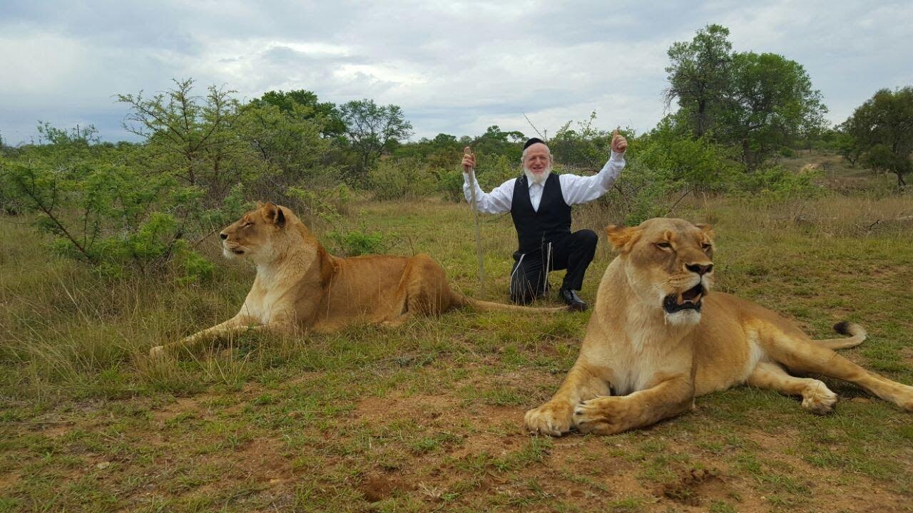 לביאה משתוללת על יהודה משי זהב בדרום אפריקה