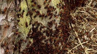 Рыжие лесные муравьи. Formica rufa