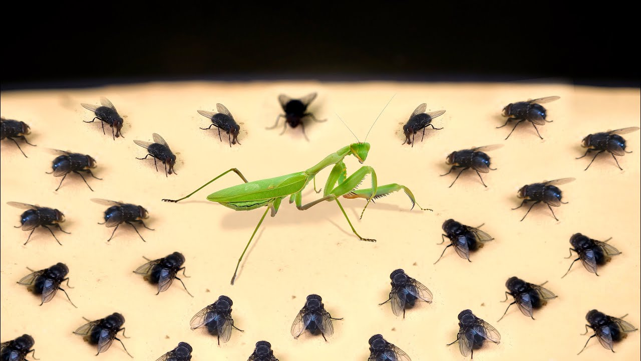 MANTIS ENOJADA VS 100 MOSCAS! ¡WOW!