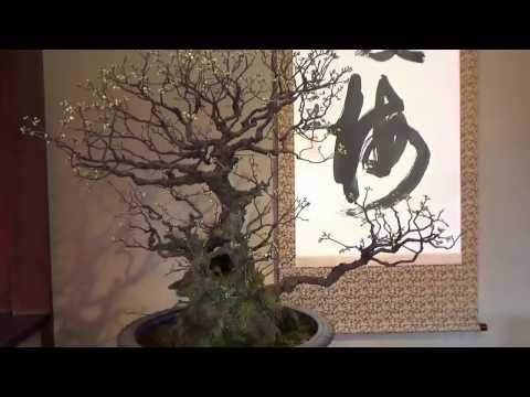 Plum Bonsai show in Japan ! Blossom. UME BON TEN 梅盆展 Part 2.