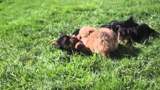 Puppies For Sale - Axle/daisy/darling/pinky - Pomeranian & Yorkies