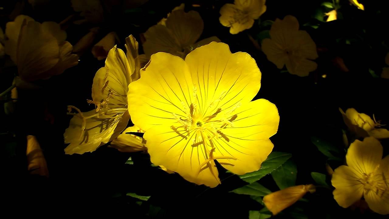 арабикой робустой ночная фиалка желтая цветок фото нагрузка кровли