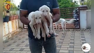 saluki puppies for sale |12june2021|tamilcount|mangalore|