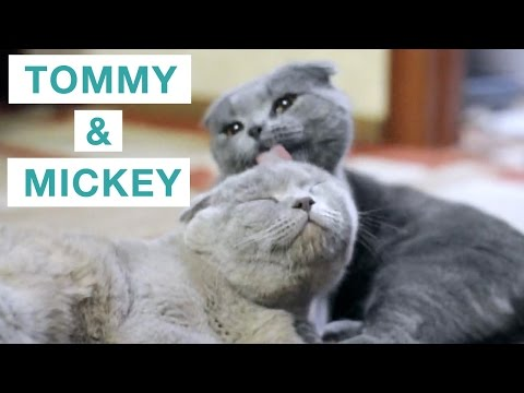 Scottish Fold Cats: Tommy Licks His Bro Mickey
