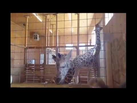 Tajiri And April Inside The Barn At Animal Adventure Park On World Giraffe Day 2017