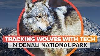 Monitoring wolves in Denali