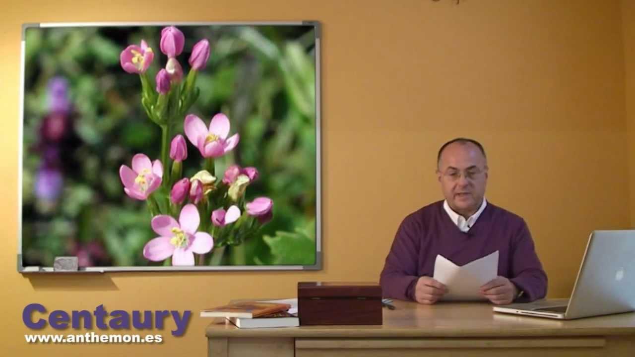 centaury flor de bach propiedades