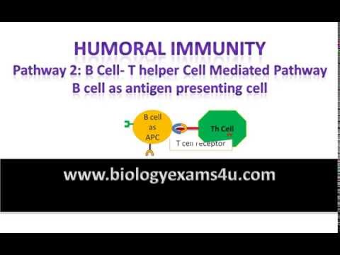 T helper cell dependent B cell activation or antibody production. Humoral Immunity Pathway 2