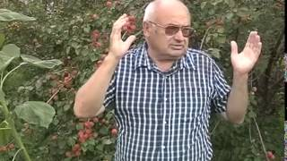 Сад Валерия Железова  Урожай Абрикосов 2013 год