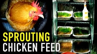 Organic Chicken Feed: Sprouted Grains for Animal Fodder