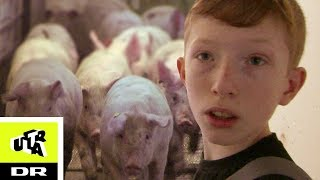 Simons 500 grise skal slagtes! | Ultra