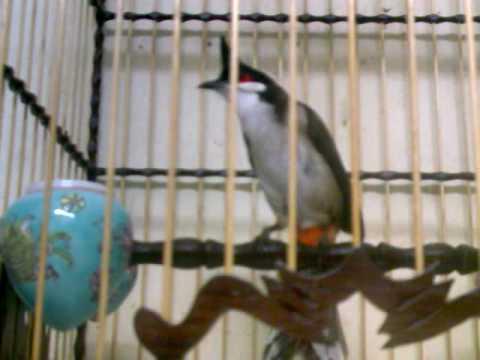 Hàng khủng -chim Huế 5 năm lồng.3gp -Kênh về chim Chào mào của Triệu Triệu