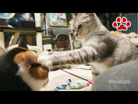 激おこの三毛猫に天然猫が近づいたら悲劇が【瀬戸のるか日記】 tragedy happened when a goofy cat joined the Mi ke and Chipie's battle