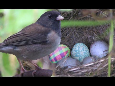 Nesting dark-eyed junco