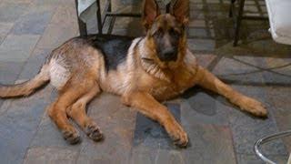 My German Shepherd, Buster Growing From 8 Weeks To 7 Months