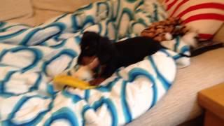 Stanley The Dachshund Puppy Steals Iphone Case!