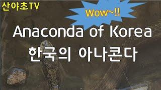 한국의 아나콘다!! 2년만에 만난 우리나라 초 대형 파…