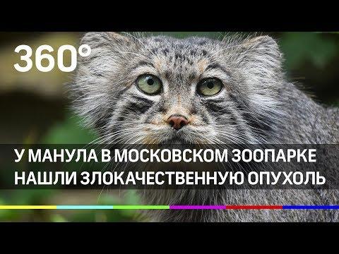 Спасите манула! Злокачественная опухоль у дикого кота из московского зоопарка