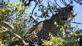Marula The Leopard