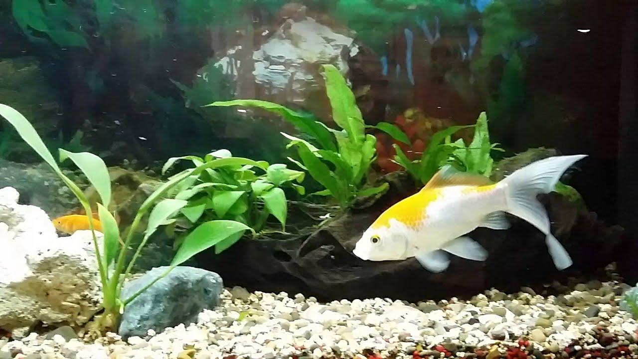 Acquario pesci rossi cometa e gambusie youtube for Pesci acquario