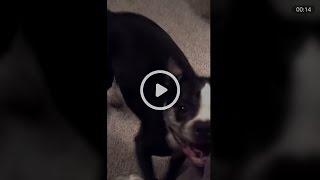 Танцующая под музыку собака