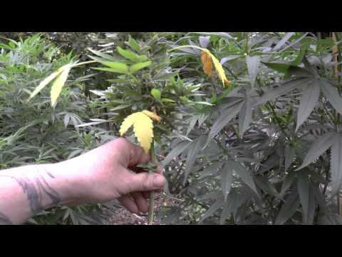 Harvesting the organic autoflower's, green peppers and potatos