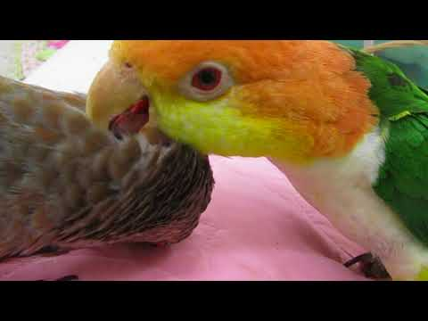 chickie caique preening Rudy