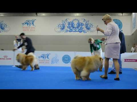 WDS-2016 CHOW CHOW Choosing the best male 2