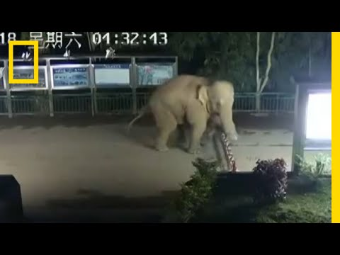 Asian Elephant Sneaks Across Laos-China Border | National Ge