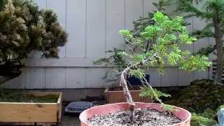 Pre-Bonsai Eastern Hemlock #2 Yamadori (Tsuga Canadensis)