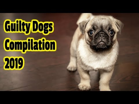 Guilty Dogs Compilation 2019
