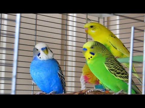 PARAKEET LOVE BIRDS!