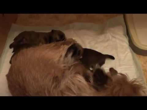 Rare breed puppies of Norwich terrier - splendor of motherhood.wmv
