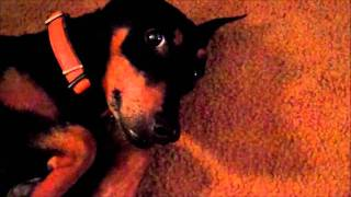 Roxy The Anxious Aggressive German Pinscher Learns To Relax! Greenville Dog Whisperer Sc