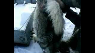 Охота на волков(Запорожская область, Приморский район.Охотники загоняют волков, которых в последнее время появилось очень..., 2013-01-16T12:28:16.000Z)