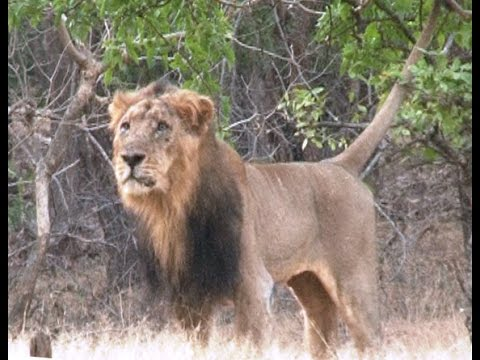 In world only one Endangered asiatic lion habitat is India's Gir forest in gujarat INDIA