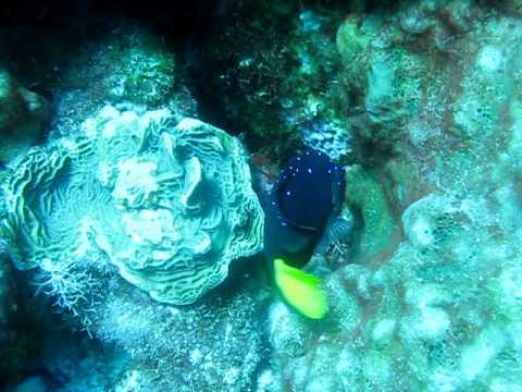 Cozumel Yellowtail Damselfish